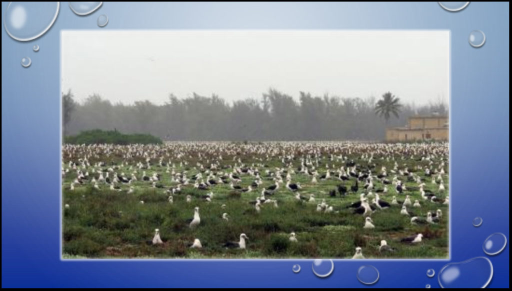 The Pacific Albatross roosts in the middle of the Pacific Ocean