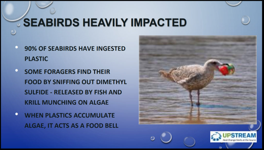 Seabirds are heavily impacted. 90% of all seabirds have ingested marine plastic